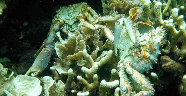 corales y cangrejos muertos