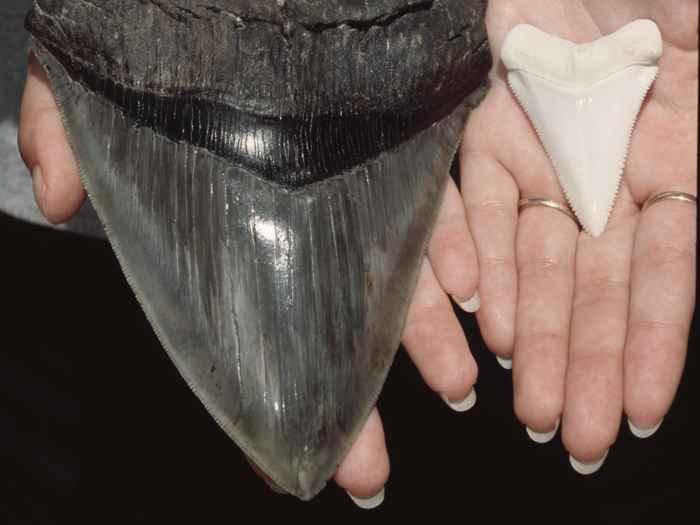 diente de megalodon, comparación