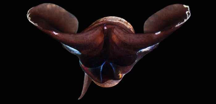 mariposa de mar Limacina helicina