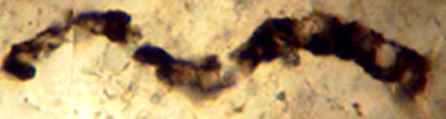 microorganismo fósil que se alimenta de metano