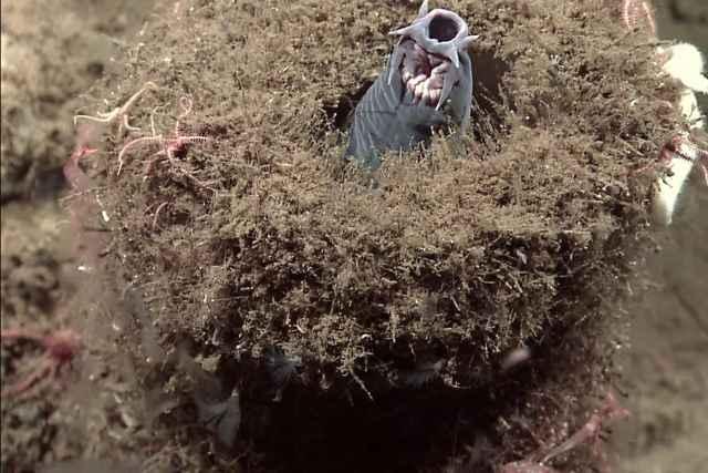 mixino oculto en una esponja