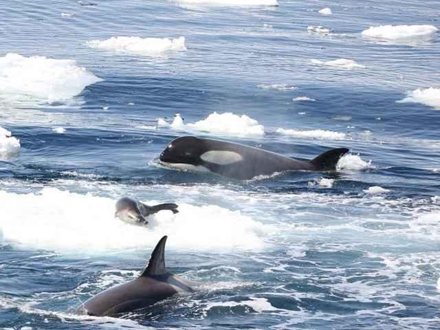 orcas atacan a una foca