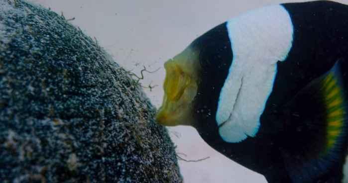 pez payaso empuja una cáscara de coco