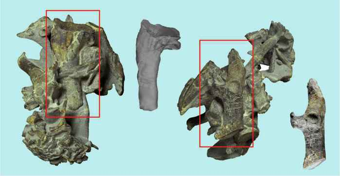 fósiles del pingüino Kumimanu biceae
