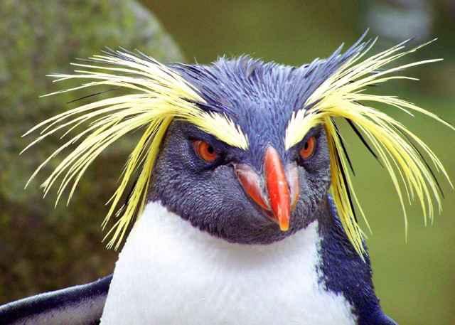 pingüino saltarrocas de las Malvinas