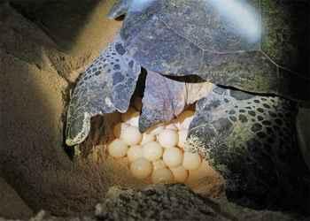 puesta de huevos de tortuga verde