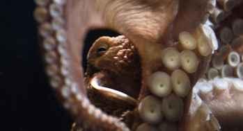 pulpo gigante del Pacífico con volantes