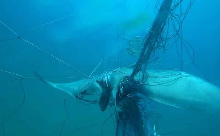 raya enredada en una red de tiburones