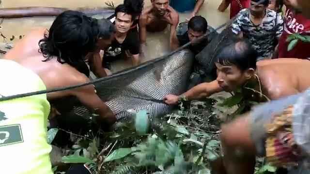 rescate de pez gato gigante en Tailandia