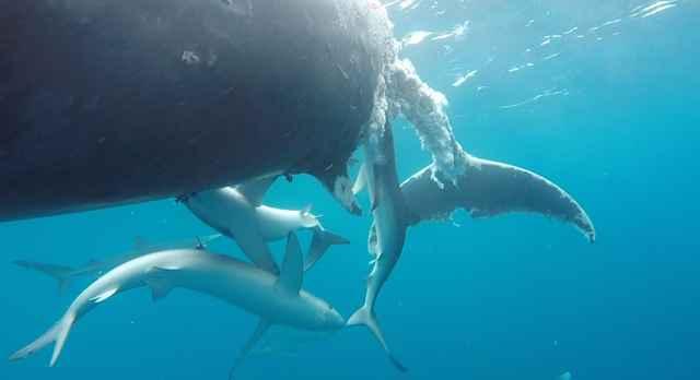 tiburones azules comiendo una ballena