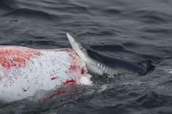 tiburón azul come de una ballena