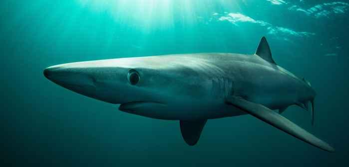 tiburón intersexual