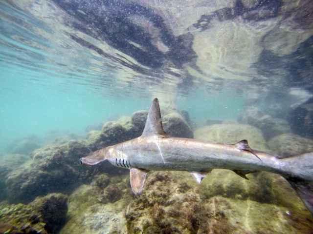 tiburón martillo en las Islas Galápagos