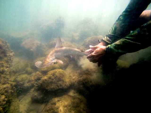 tiburón martillo juvenil en Galápagos