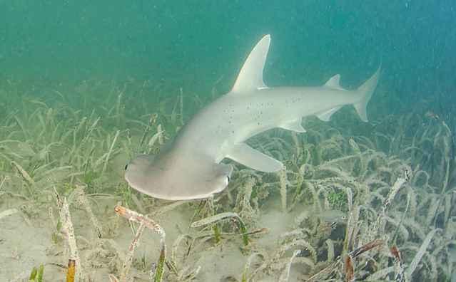 tiburón vegetariano Sphyrna tiburo