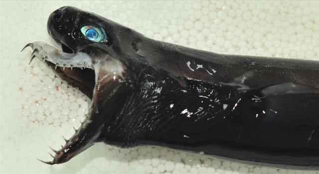 tiburón víbora capturado en Taiwan