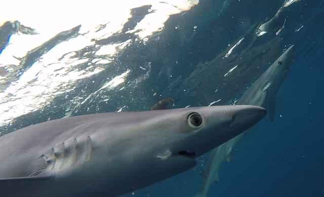 tiburones azules bajo el agua