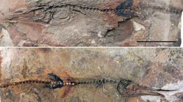 fósil de pez lagarto Candelarihynchus padillai