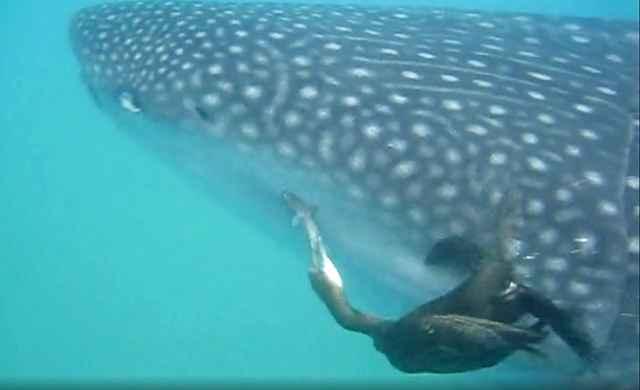 cormorán arranca una rémora de un tiburón ballena