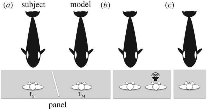 experimento de imitación del habla humana con una orca