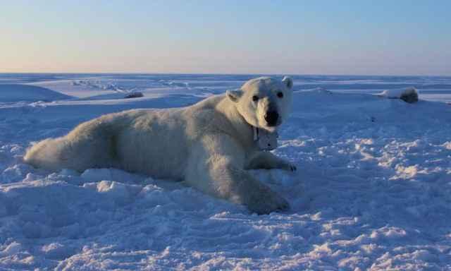 oso polar con un collar de seguimiento
