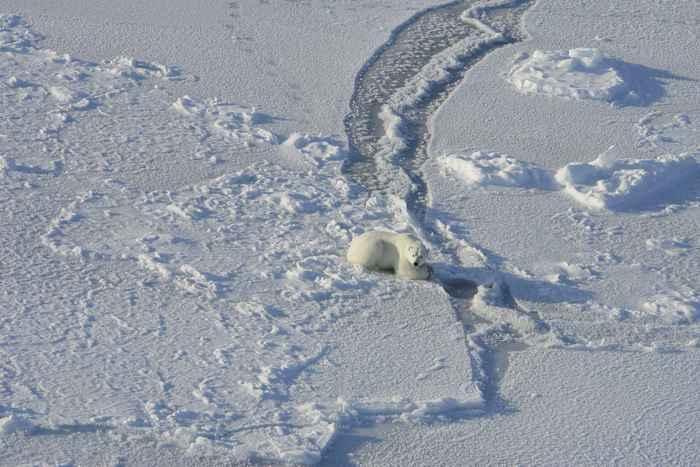 oso polar espera una presa