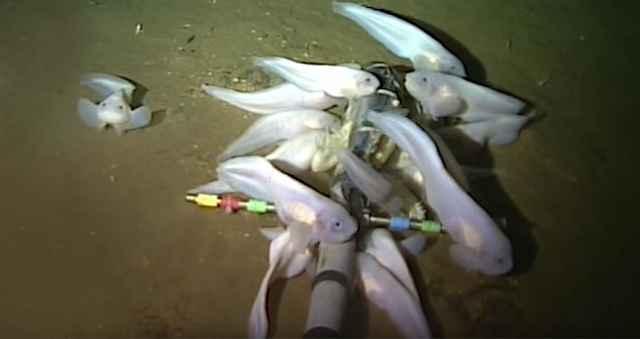 peces caracol en la Fosa de las Marianas