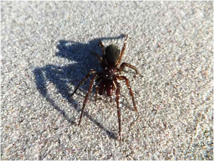 araña formidable (Desis formidablis)
