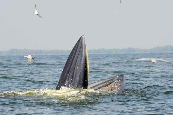 ballena de Bryde alimentándose en superficie