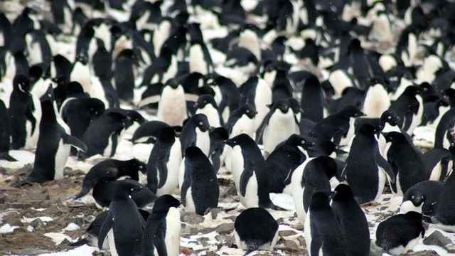 colonia de pingüinos Adelia en los Islotes Peligro