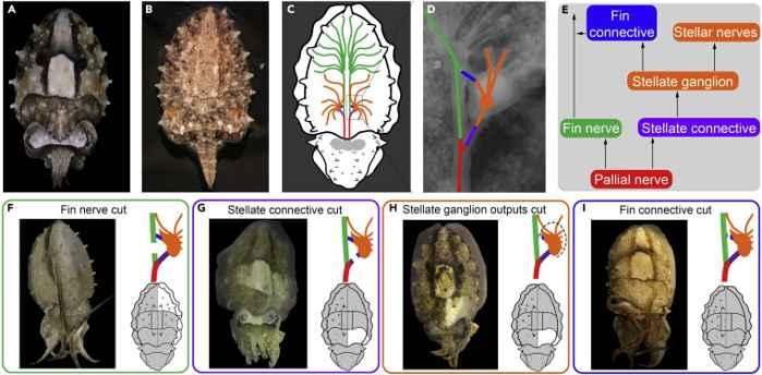 control neuronal en el manto de la sepia