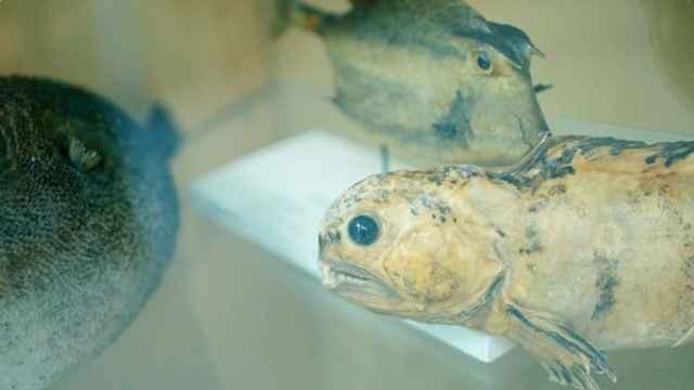 microplásticos en peces