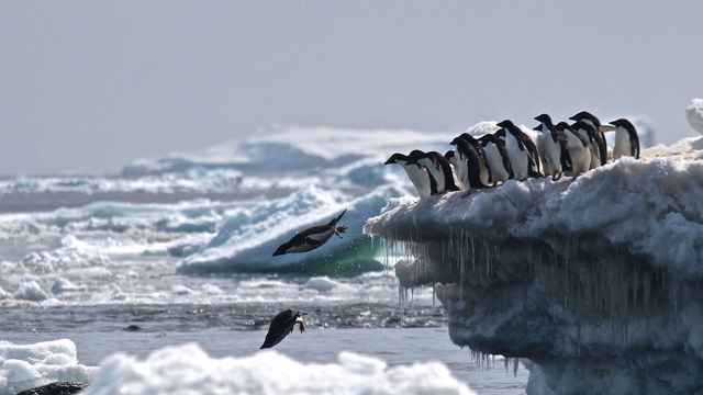pingüinos Adelia en los Islotes Peligro