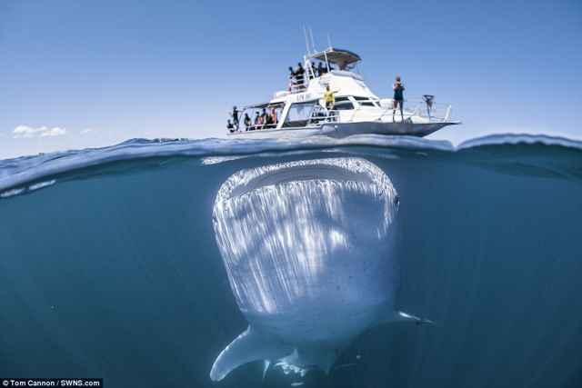 tiburón ballena bajo un barco