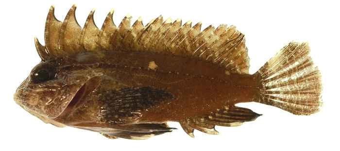 Paracentropogon longispinis