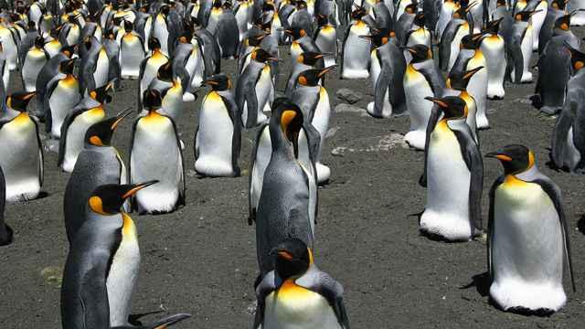 colonia de cría de pingüinos rey