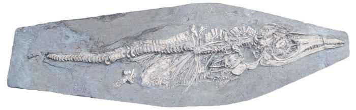 fósil de ictiosaurio embarazada