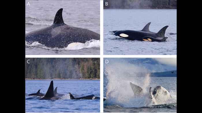 infanticidio de una orca