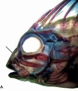 navaja de un pez piedra