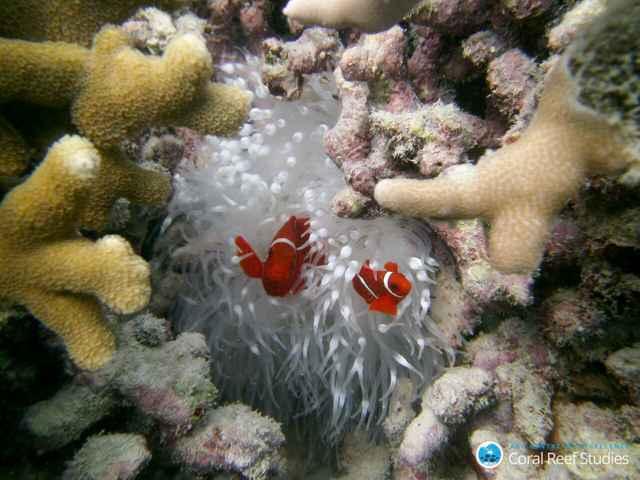 peces payaso en un arrecife de coral