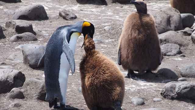 pingüino rey alimenta una cría