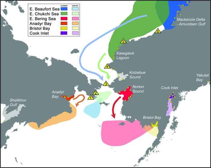 rutas de migración de las ballenas beluga