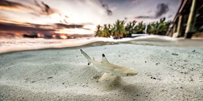 tiburón por Simone Caprodossi