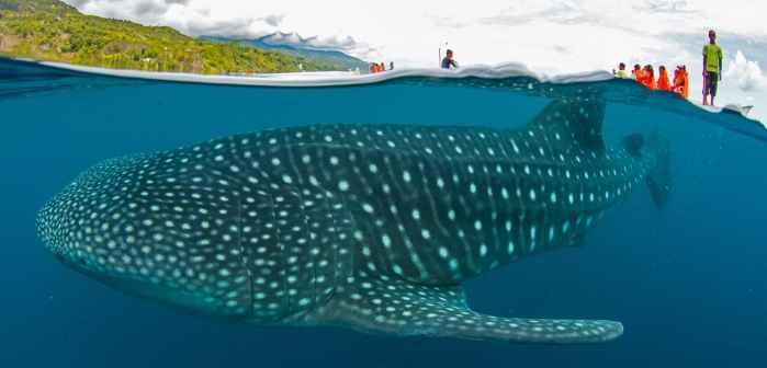 tiburón ballena en Oslob, Filipinas