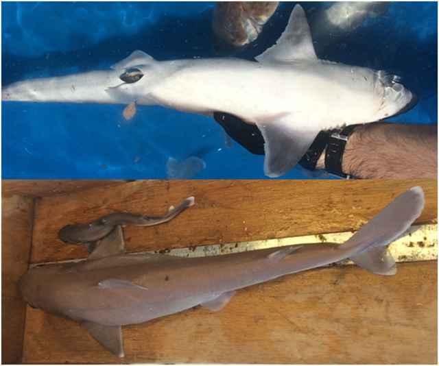 tiburón galludo ñato durante un parto prematuro