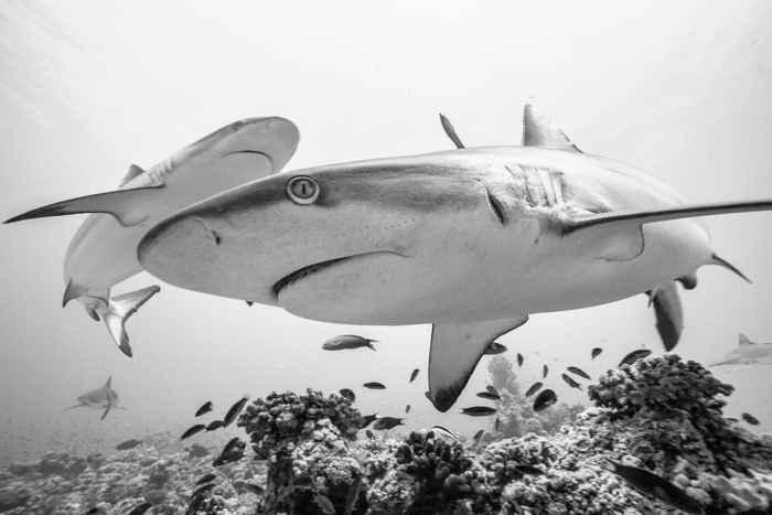 tiburones por Simone Caprodossi