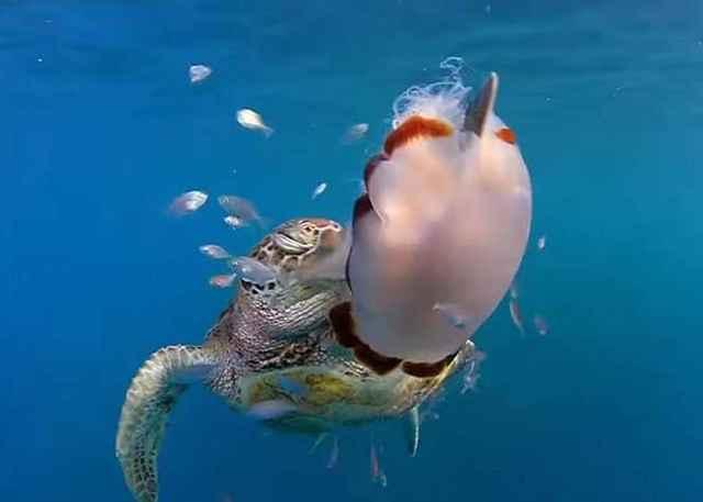 tortuga marina manipula una medusa