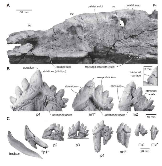 Dientes del Llanocetus denticrenatus