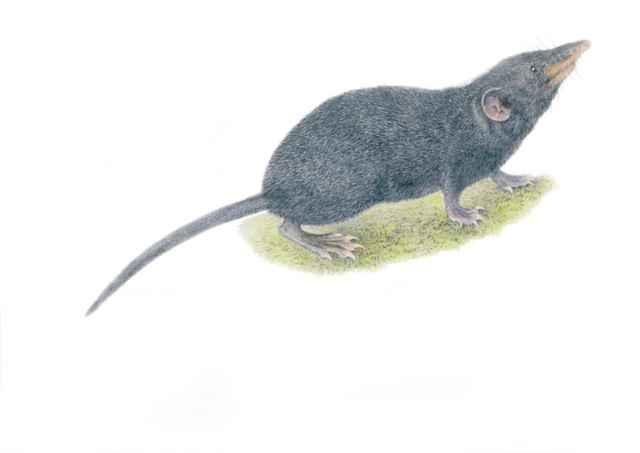 musaraña de musgo de Palawan (Palawanosorex muscorum)