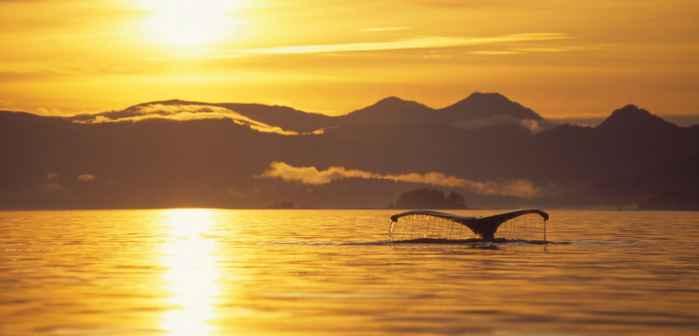 ballena jorobada solitaria